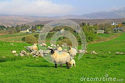 Mayo mountains sheep