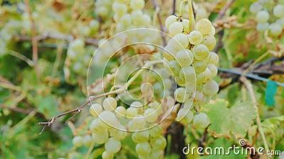 Mazzi di uva bianca matura Vigna vicino al lago Ontario, Stati Uniti HQ 422 di ProRes un video di 10 bit video d archivio
