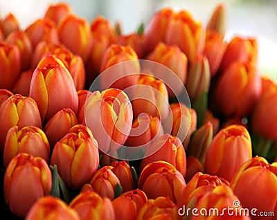 Mazzo di tulipani arancioni e gialli fotografie stock for Tulipani arancioni