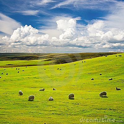 Meadow with flock of sheep