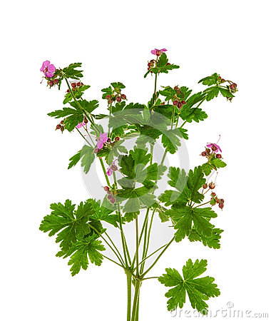 Free Meadow Geranium Royalty Free Stock Images - 54358859