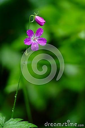 Meadow geranium (Geranium pratense)