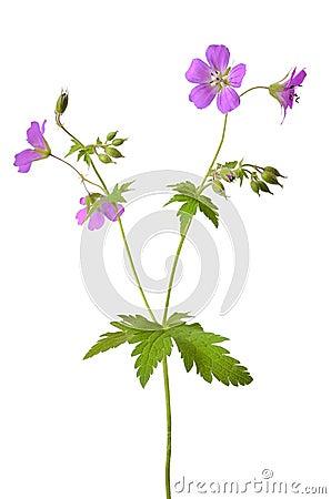 Free Meadow Geranium (Geranium Pratense) Flower Royalty Free Stock Images - 31387349