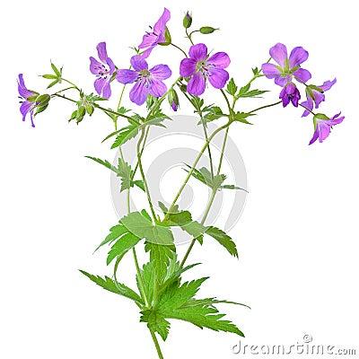 Free Meadow Geranium (Geranium Pratense) Flower Stock Photo - 35618130