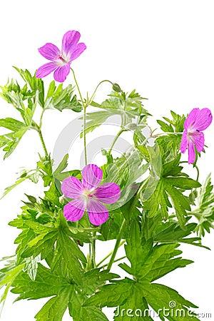Free Meadow Geranium (Geranium Sylvaticum) Stock Images - 15767374