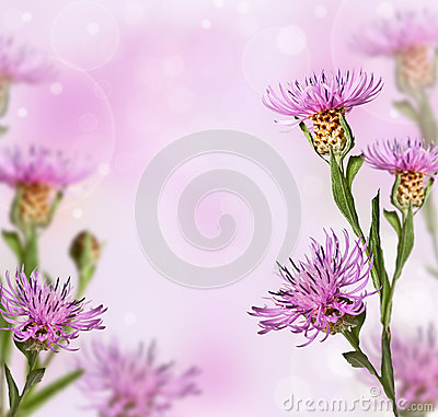 Meadow knapweed flower on soft background