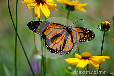Meadow monarch butterfly