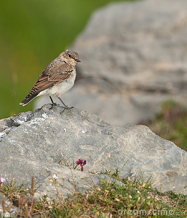 A Meadow Pipit on a rock