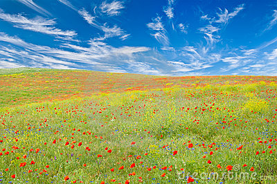 Meadow with poppies, cornflowers, yellow flowers