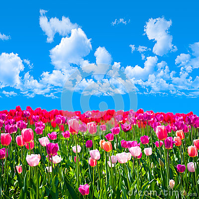 Meadow of tulips on a background of blue sky