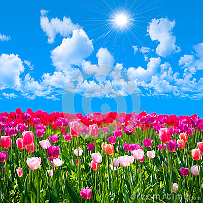 Meadow of tulips on a background of blue sky with clouds
