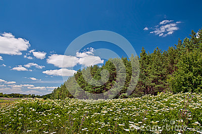 Meadow of white flowers and fir forest