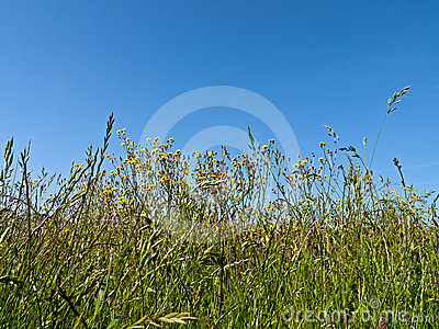 Meadow with wild flowers and grass