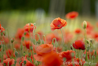 meadow of wild poppies
