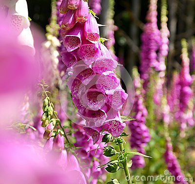 Free Meadow With Foxgloves Violet Blooming Stock Photography - 113740062