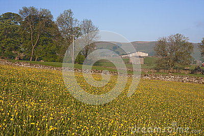 Meadow of yellow buttercups
