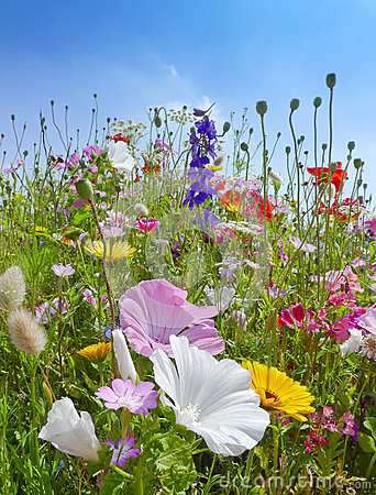 Meadows flowers and blue sky