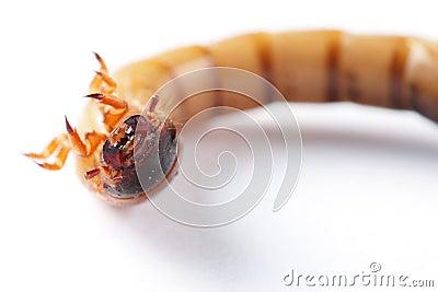Mealworm isolated