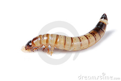 Mealworm isolated