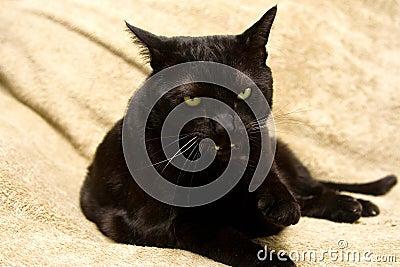 Mean black cat