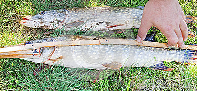 Measure fish pike
