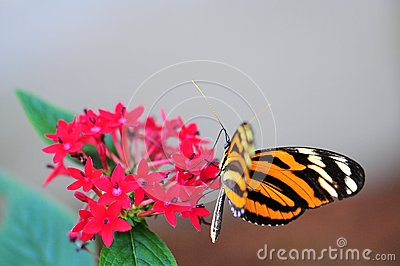 Mechanitis butterfly on Pentas lanceolata flowers