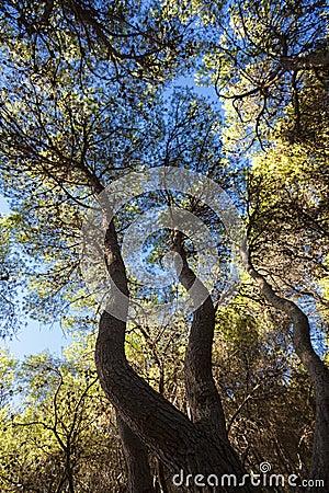Medelhavs- skog