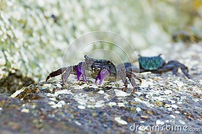 Meder mangrove crab
