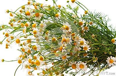 Medical daisy isolated