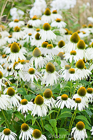 medicinal herb echinacea purpurea or coneflower, close-u