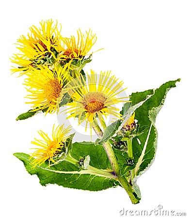 Free Medicinal Plant. Elecampane (Inula Helenium) Royalty Free Stock Photo - 59156855