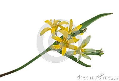 Medicinal plant: Gagea lutea Stock Photo