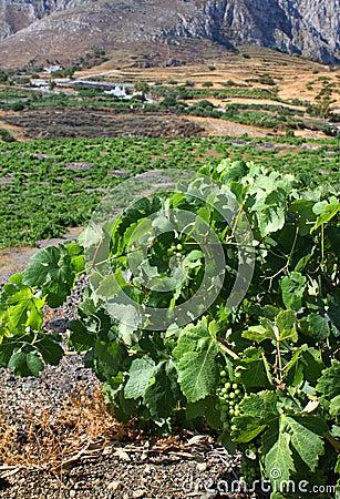 Mediterrane wijngaard