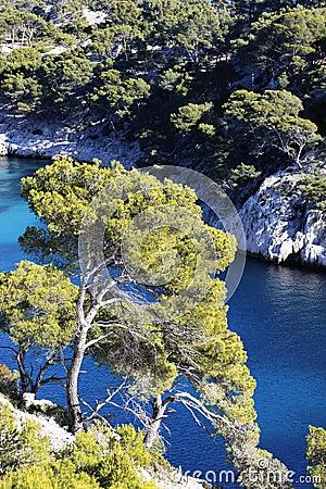 Mediterranean firs