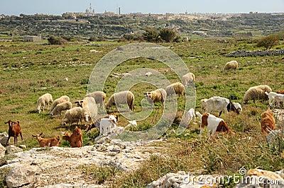 Mediterranean flock