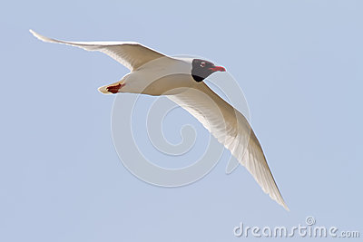 Mediterranean Gull Flying