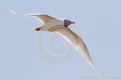 Mediterranean Gull Flying