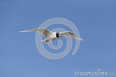 Mediterranean gull, Larus melanocephalus