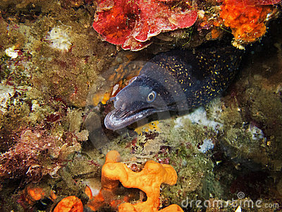 Mediterranean moray