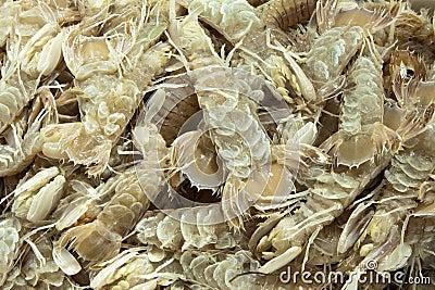 Mediterranean Sea  Crustacean Mantis Shrimp