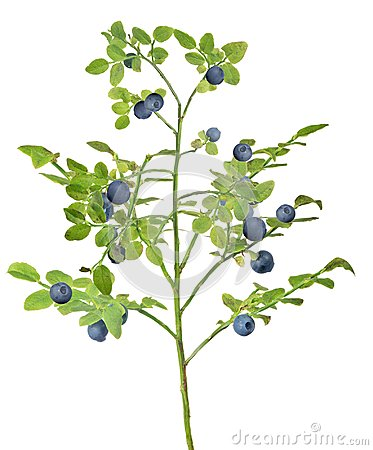Free Medium Green Blueberry Lush Branch With Berries Stock Photos - 117142493