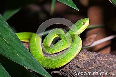 Medoggreenpit-viper crawl on a trunk
