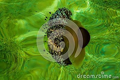 Medusa mediterrâneas em águas verdes