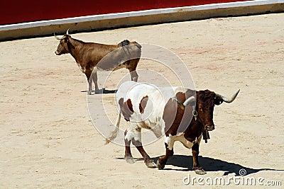 Meek and rude heifer in a bullring.