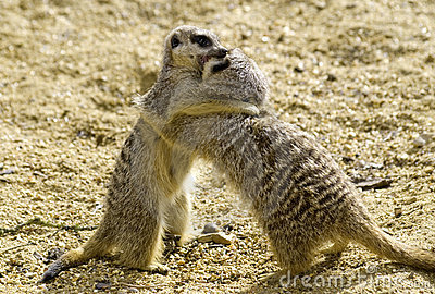 Meekats play fighting