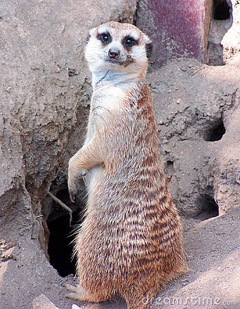 Free Meercat Goodbye Stock Image - 2245541