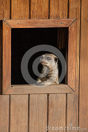 Free Meercat Looking Through Window Chester Zoo Stock Photos - 52054223