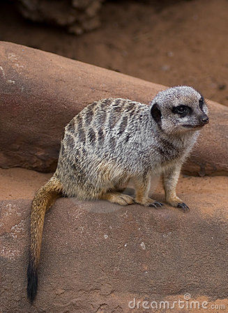 Free Meercat On Rock Royalty Free Stock Images - 6311599