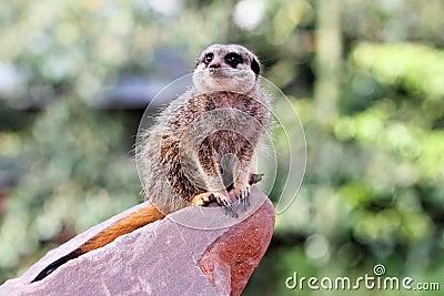 A meercat ( Suricata suricatta)