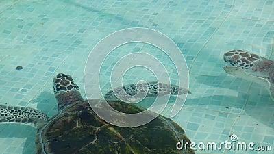 Meeresschildkröte im Pool in Mexiko stock video footage